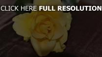 rose blütenblätter gelb knospe