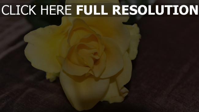 hd hintergrundbilder rose blütenblätter gelb knospe
