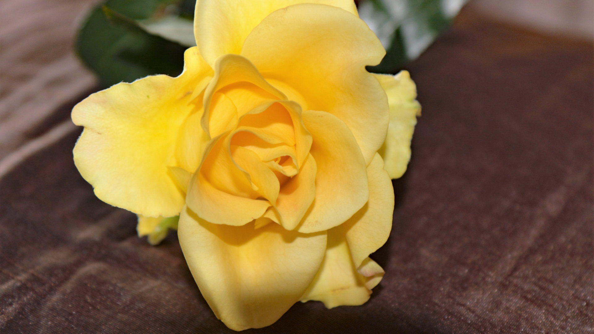 hd hintergrundbilder rose blütenblätter gelb knospe 1920x1080