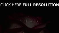 dunkler hintergrund tropfen rose blütenblättern