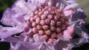 close-up scabiosa blume