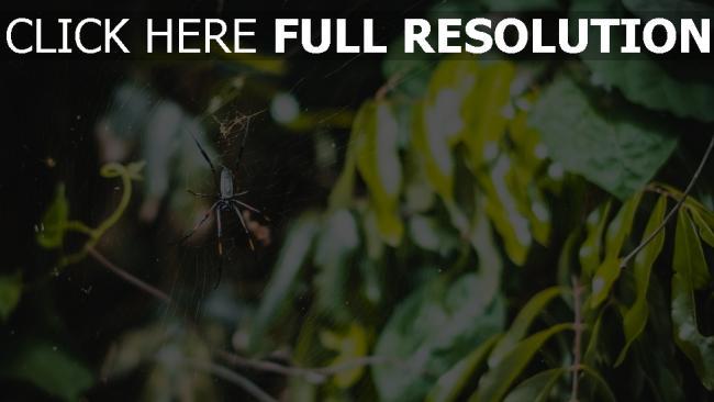 hd hintergrundbilder blätter spinne netz