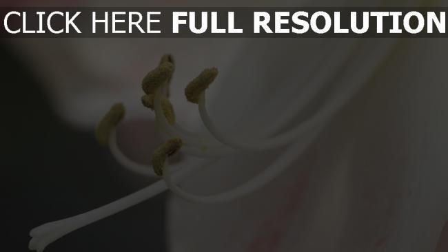 hd hintergrundbilder staubblatt blume pollen close-up