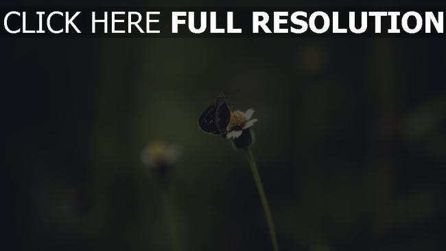 hd hintergrundbilder insekt stängel schmetterling
