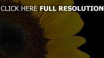 sonnenblume blütenblätter tropfen
