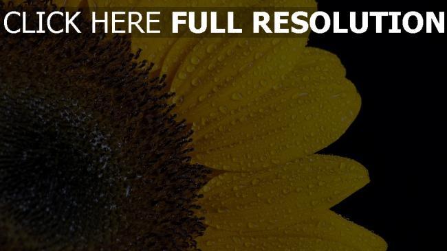 hd hintergrundbilder sonnenblume blütenblätter tropfen