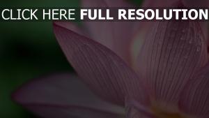 blume rosa blütenblätter tropfen
