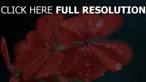geranie rose rot tropfen