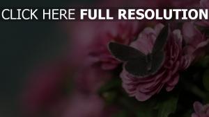 blumen rosa rose schmetterling