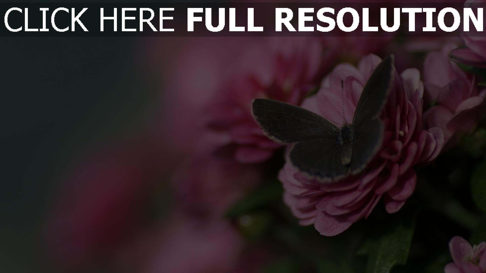 hd hintergrundbilder blumen rosa rose schmetterling 1920x1080