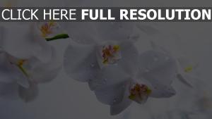 orchidee weiß blumen tropfen
