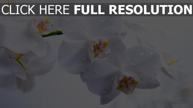 hd hintergrundbilder orchidee weiß blumen tropfen