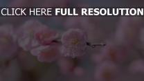zweig blütenblätter rosa blüte kirsche
