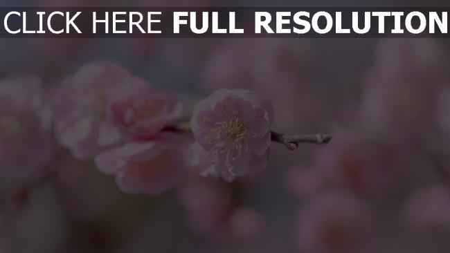 hd hintergrundbilder zweig blütenblätter rosa blüte kirsche