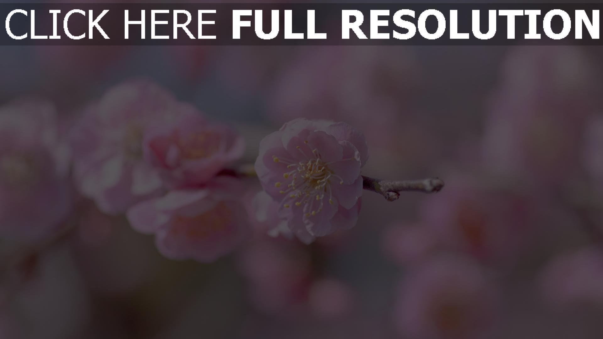 hd hintergrundbilder zweig blütenblätter rosa blüte kirsche 1920x1080
