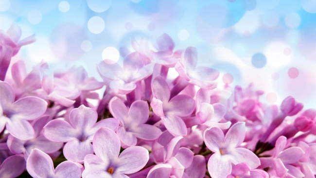 hd hintergrundbilder blumen lila flieder hell