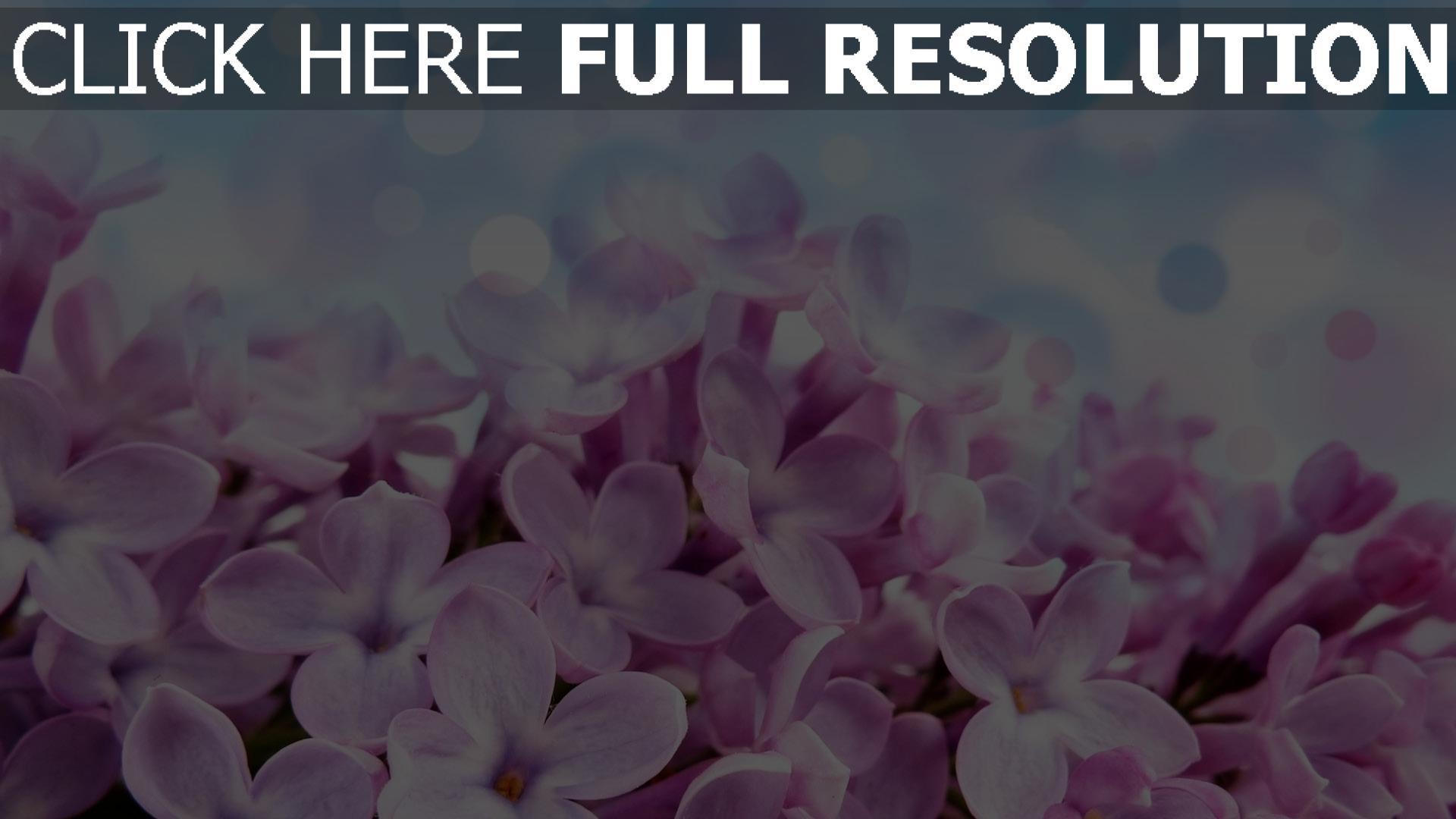 hd hintergrundbilder blumen lila flieder hell 1920x1080