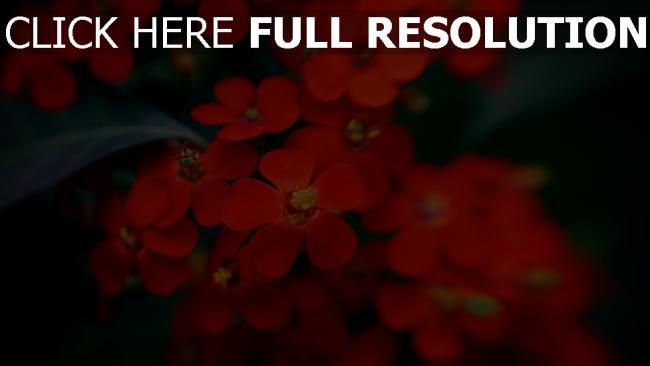 hd hintergrundbilder blumen blüten rot blätter