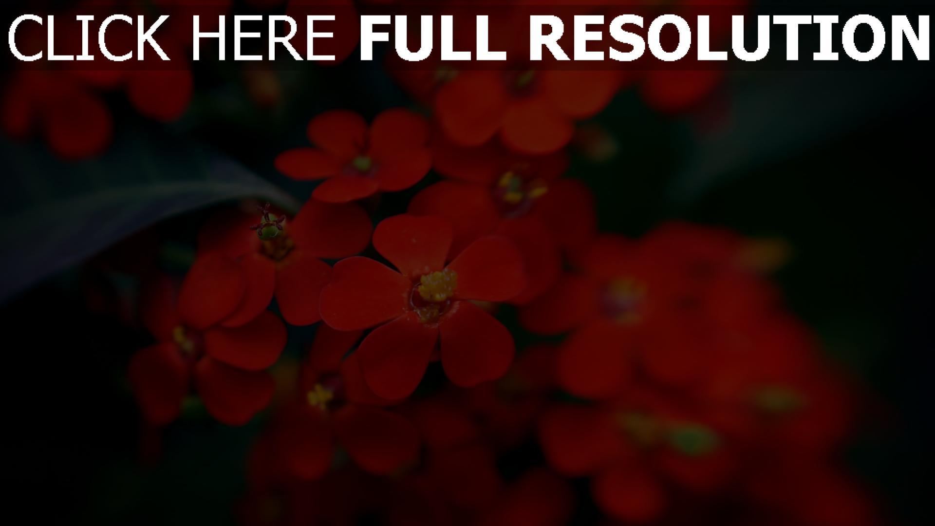hd hintergrundbilder blumen blüten rot blätter 1920x1080