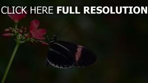 blume rot rose schmetterling schwarzes