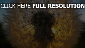 löwenzahn flaum licht sonne