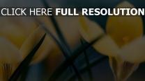 krokus gelb blumenblätter gras frühling