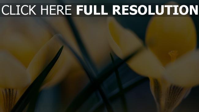 hd hintergrundbilder krokus gelb blumenblätter gras frühling