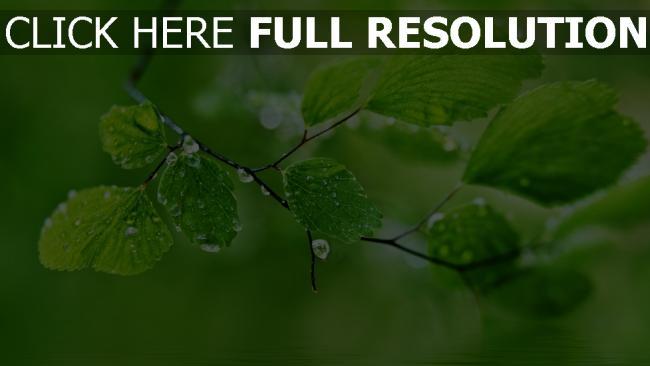 HD Hintergrundbilder blätter zweig tropfen frühling grün ...
