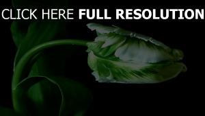 tulpe blütenblätter stamm blätter