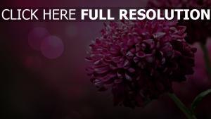 chrysantheme rosa lila blume bokeh