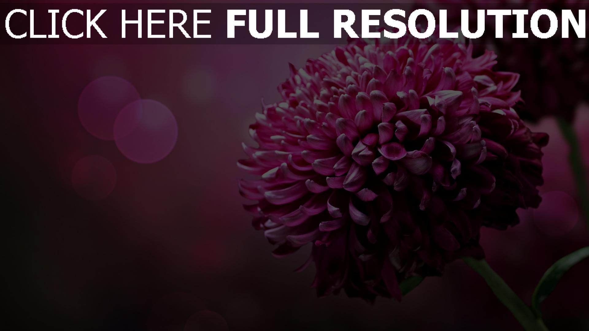 Hd Hintergrundbilder Chrysantheme Rosa Lila Blume Bokeh Desktop