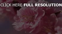 blumen rosa blütenblätter knospen frühlings