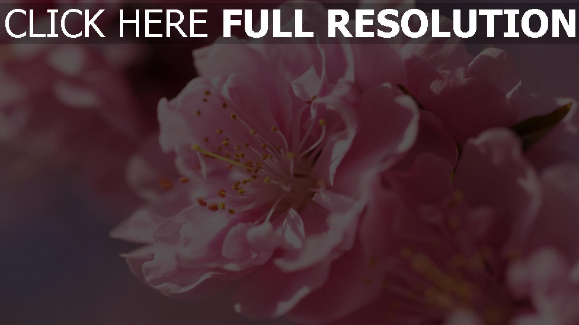 HD Hintergrundbilder blumen rosa blütenblätter knospen ...