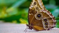schmetterling braun muster flügel insekt