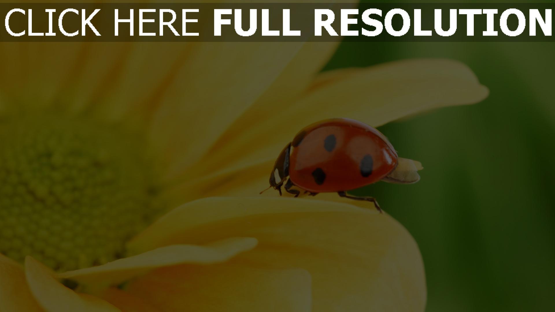 Herunterladen 1920x1080 Full Hd Hintergrundbilder Marienkäfer Blume