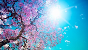 frühling baum blüte rosa himmel blau
