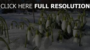 schneeglöckchen blumen frühling schnee schmelze