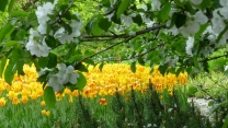 blüte tulpen frühling Äste blüten