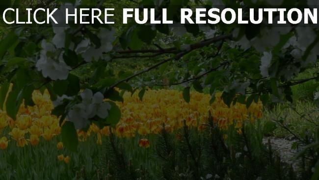 hd hintergrundbilder blüte tulpen frühling Äste blüten