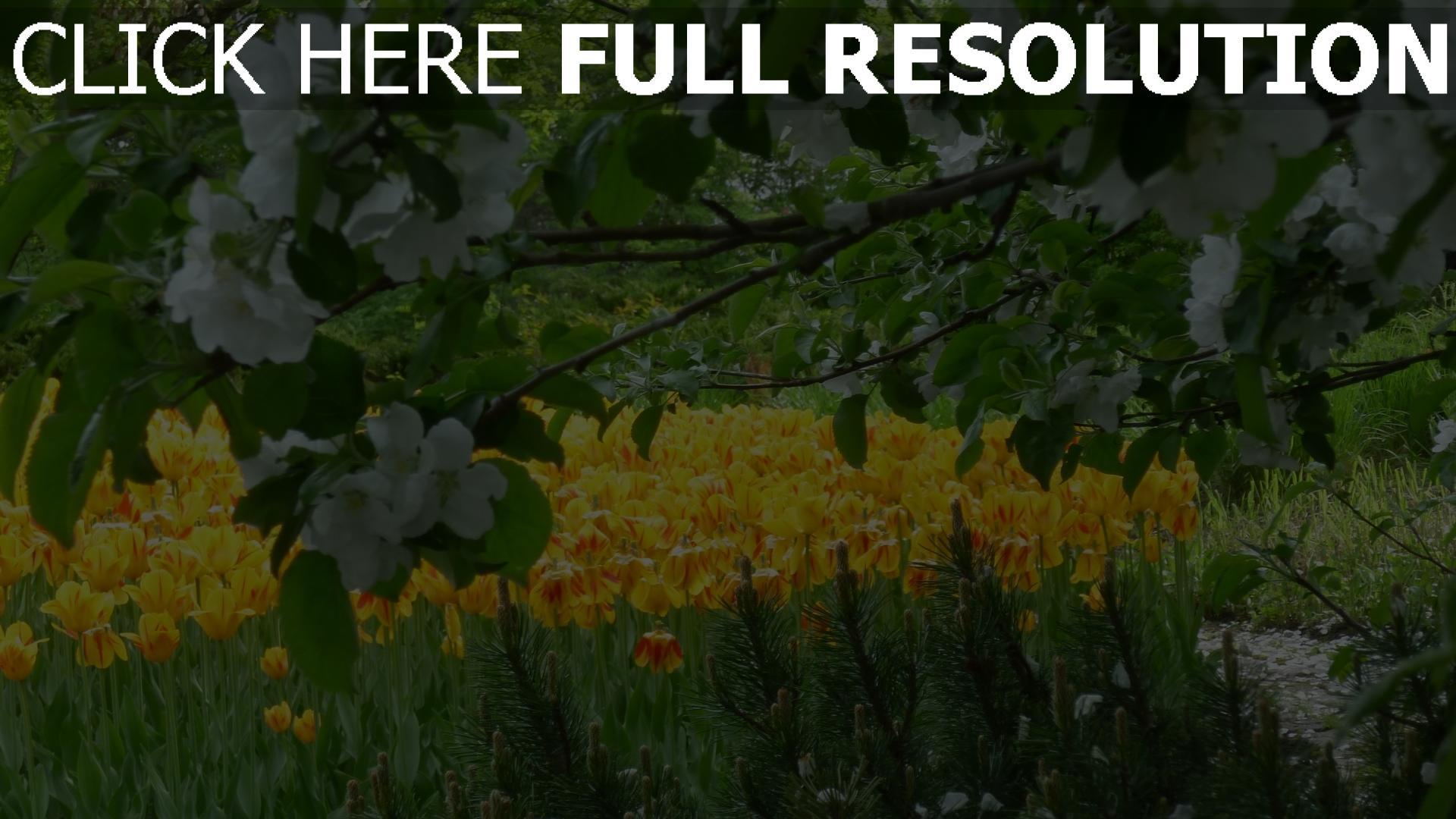 hd hintergrundbilder blüte tulpen frühling Äste blüten 1920x1080