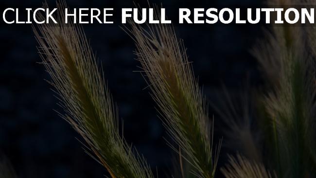 hd hintergrundbilder ähren getreide pflanzen licht sonne bokeh