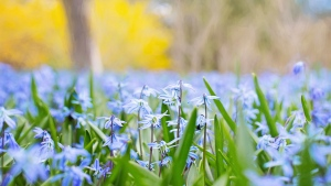 blüte blau blütenblätter stengel gras frühling blühen