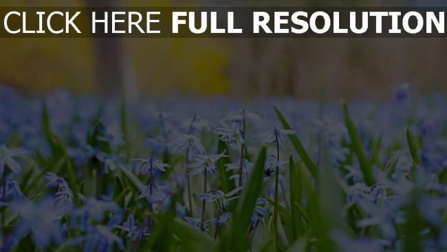 hd hintergrundbilder blüte blau blütenblätter stengel gras frühling blühen