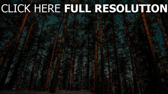 hd hintergrundbilder wald kiefer bäume himmel