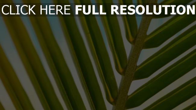 hd hintergrundbilder zweig blätter palme close-up