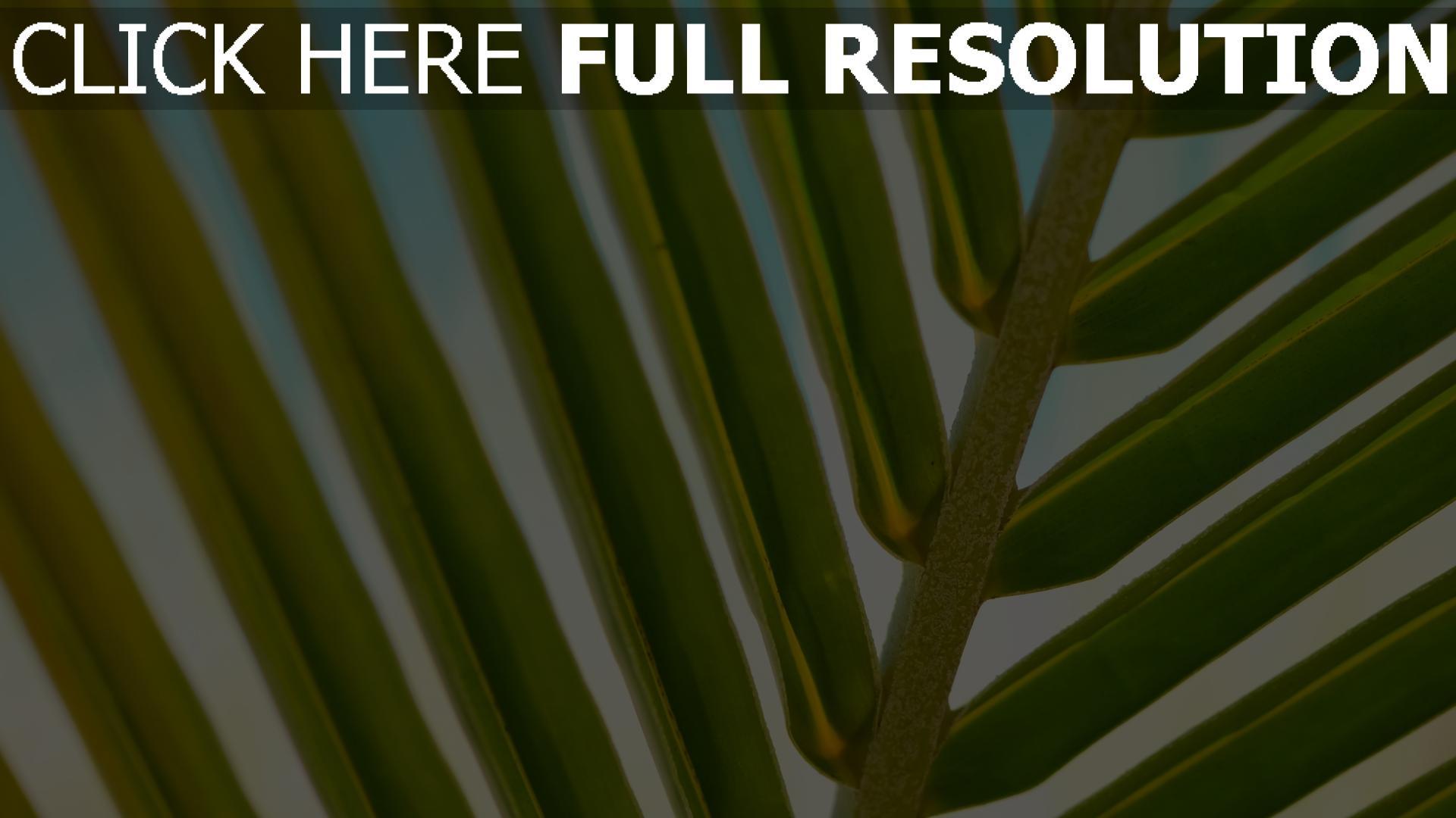 hd hintergrundbilder zweig blätter palme close-up 1920x1080