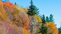 bäume kiefer herbst gelbe blätter himmel