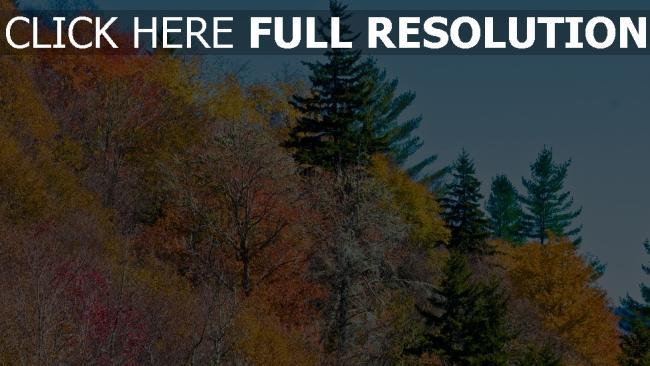 hd hintergrundbilder bäume kiefer herbst gelbe blätter himmel