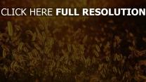 glühen gras alopecurus