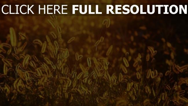 hd hintergrundbilder glühen gras alopecurus